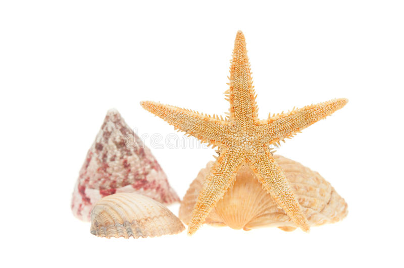Sea shells and starfish isolated on white. Sea shells and starfish isolated on a white background royalty free stock photos