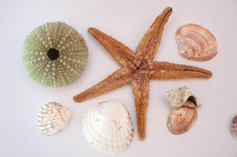 Sea shells and starfish. Isolated on a white background royalty free stock photography