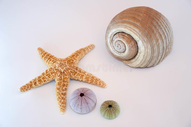 Sea shells and starfish. Isolated on a white background royalty free stock image
