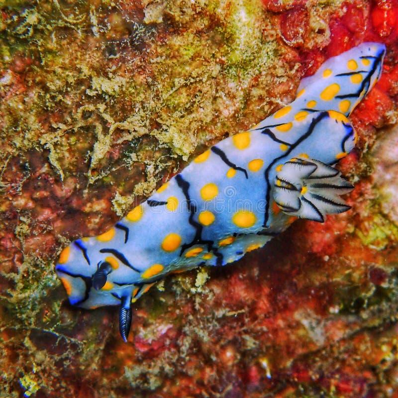 Free Sea Slug Dorid Nudibranches Gastopod Molluscs Royalty Free Stock Photos - 161189198