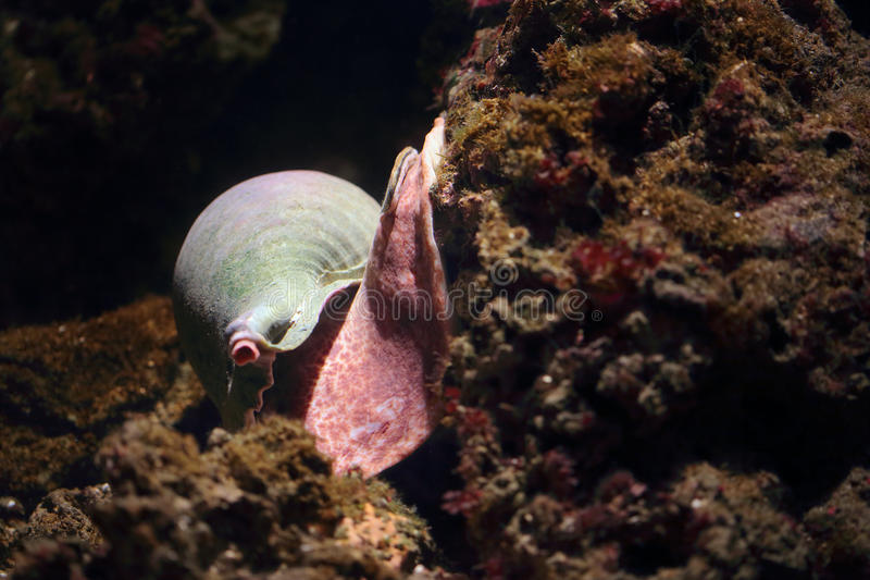 Sea snail moving on a rock royalty free stock photography