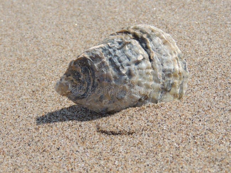Sea Snail, Seashell, Terrestrial Animal, Snail stock images
