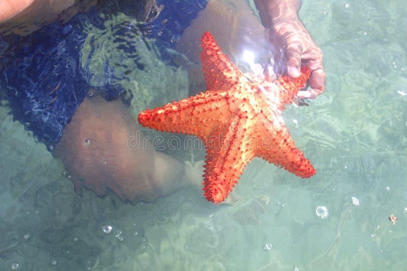 Download Sea Star stock photo. Image of star, caribbean, falcon - 28937574