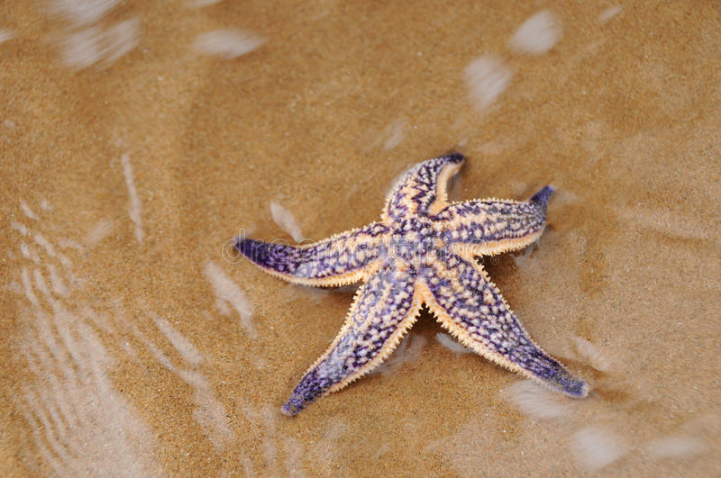 Sea star on beach stock images