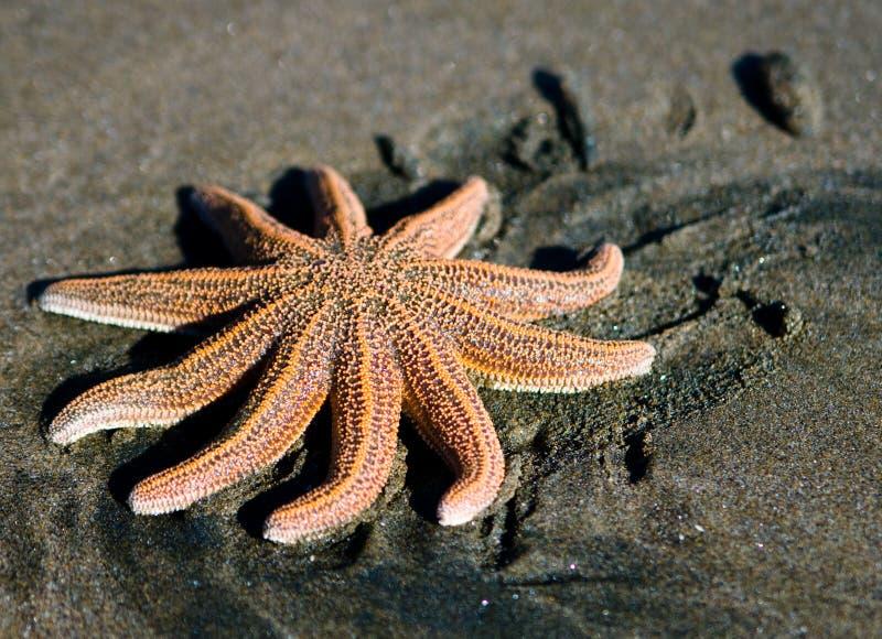 Sea star on New Zealand beach royalty free stock photo
