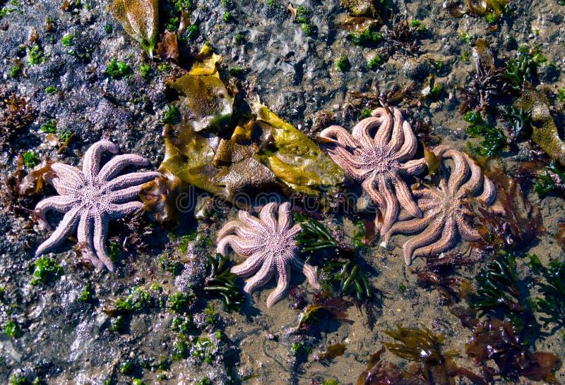 Sea stars stock image