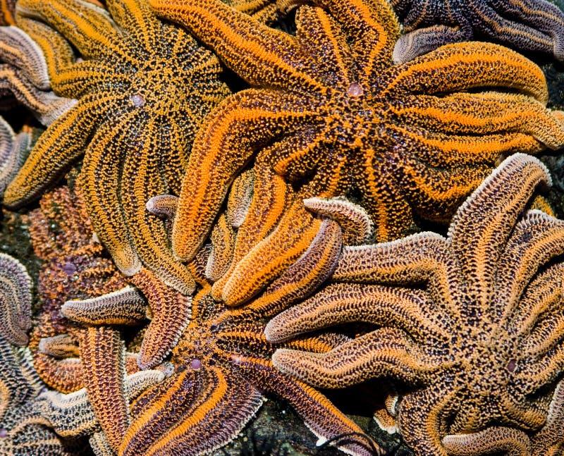 Sea stars royalty free stock photo
