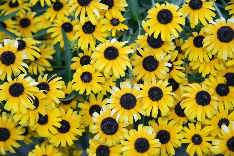 Sea of sunflowers royalty free stock images