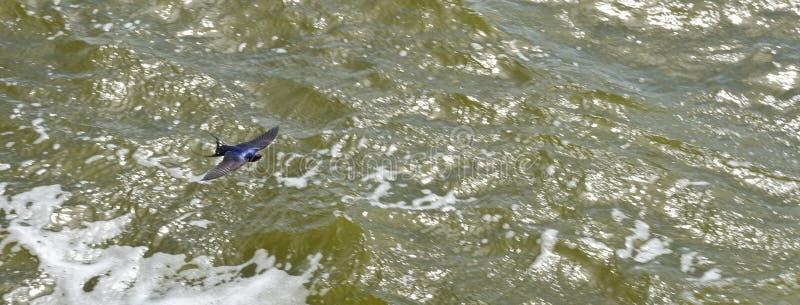 Sea swallow flying stock photo