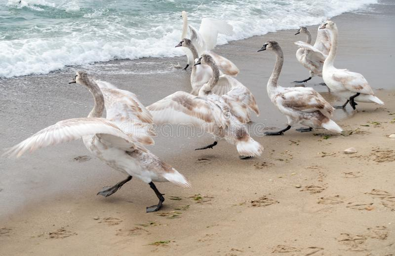 Sea swans family walk. Sea swans family flap their wings moving to the water. Black Sea coast, Varna, Bulgaria royalty free stock photography