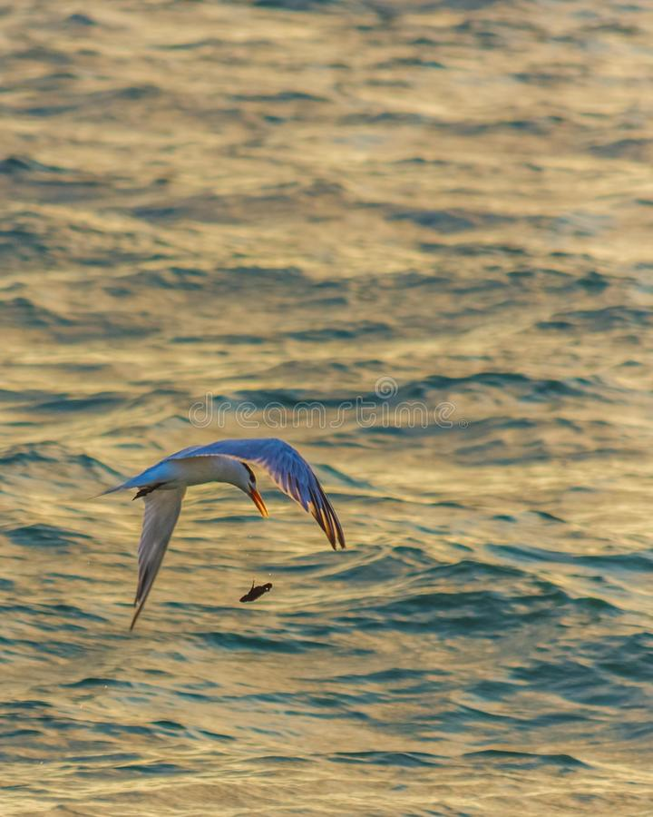 Sea tern loses its meal. royalty free stock photo