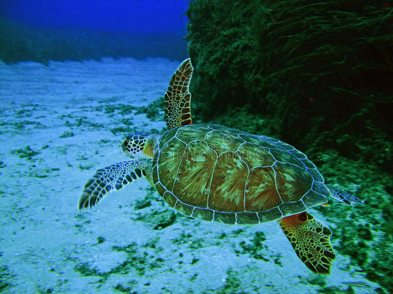 Sea Tertles royalty free stock image