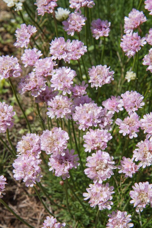 The sea thrift plant royalty free stock photography