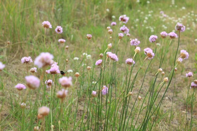 Sea thrift flowers with grass in the background stock image