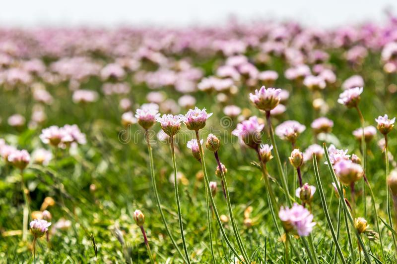 Sea Thrift Flowers royalty free stock photos
