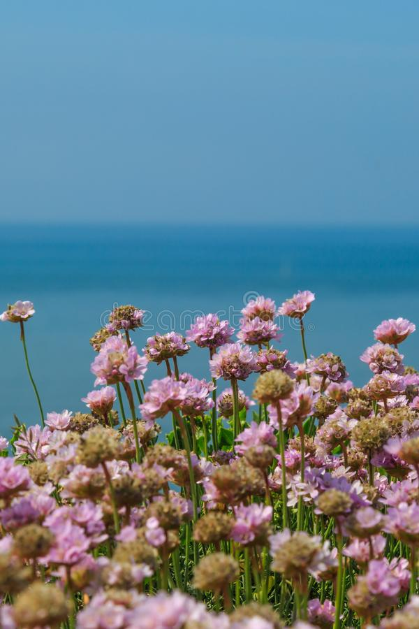 Sea Thrift Flowers. A vertical photograph of sea thrift flowers on the cliffs at Seaford in Sussex, with the sea behind royalty free stock image