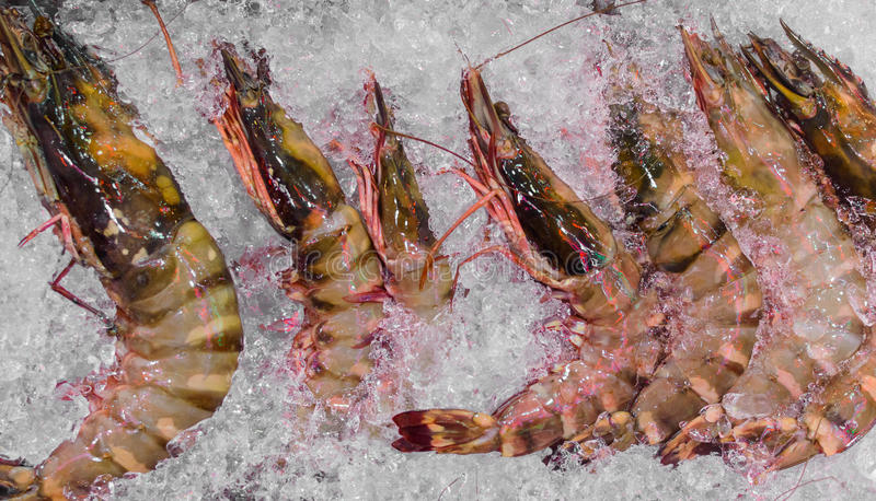 Sea Tiger Prawns stacked on tray with Ice. Fresh Seafood concept. Sea Tiger Prawns stacked on tray with Ice. Close up view. Fresh Seafood concept royalty free stock photos