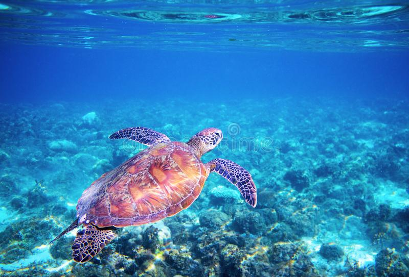 Sea tortoise in blue water above coral reef. Tropical sea nature of exotic island. stock photos