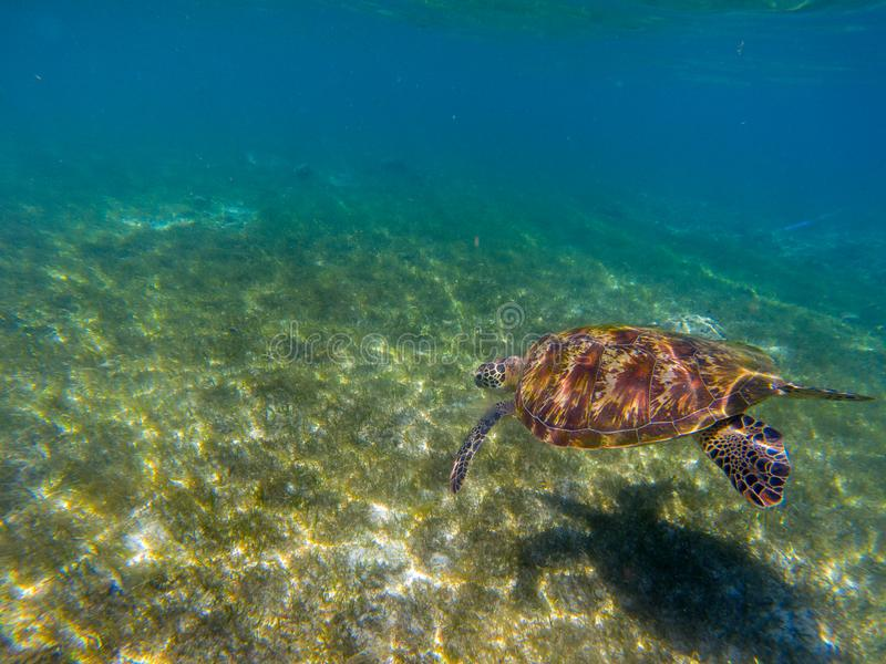 Sea tortoise dives in shallow water. Green turtle underwater. Wild animal in natural environment. Endangered species. Of coral reef. Tropical island seashore royalty free stock photo