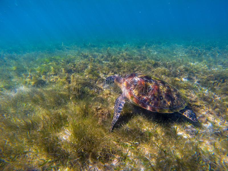 Sea tortoise eating sea grass. Green turtle underwater photo. Wild animal in natural environment. Endangered species. Of coral reef. Tropical island seashore stock photo
