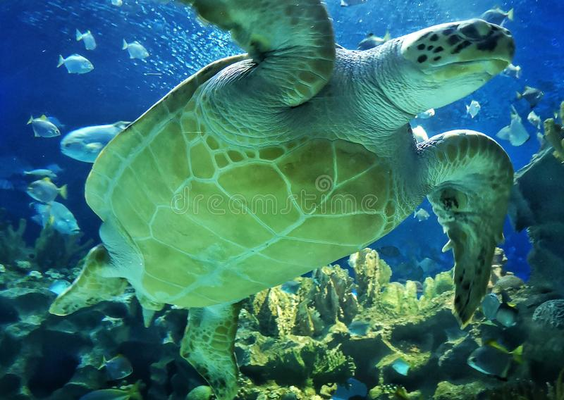 Sea tortoise with fishes royalty free stock photography