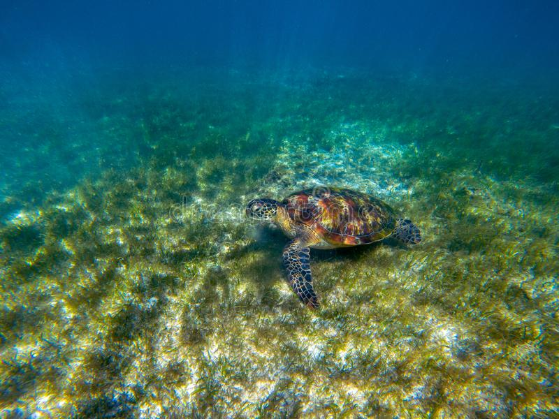 Sea tortoise in green sea grass. Green turtle underwater photo. Wild animal in natural environment. Endangered species. Of coral reef. Tropical island seashore stock photo