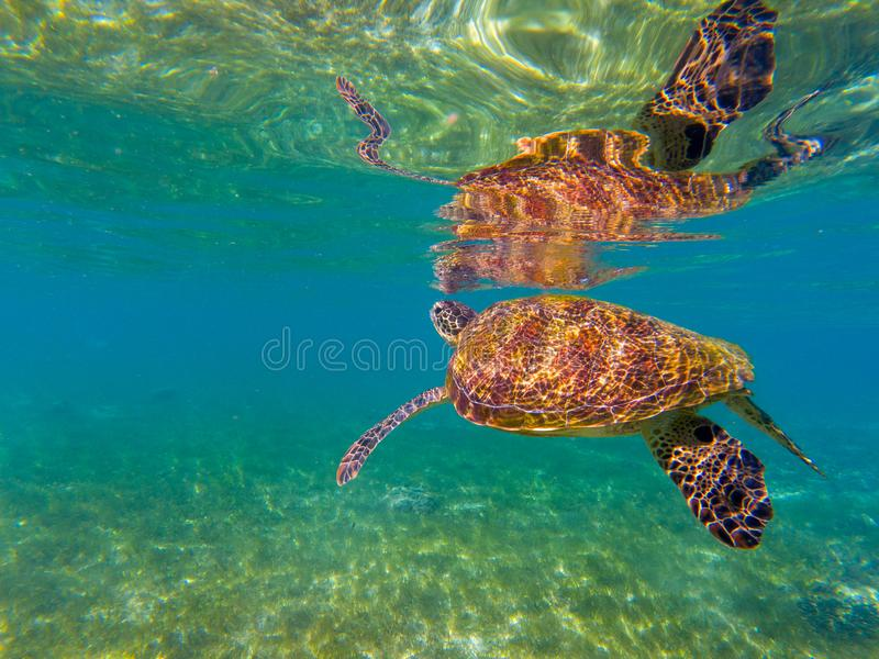 Sea tortoise by water surface. Green turtle underwater photo. Wild animal in natural environment. Endangered species. Of coral reef. Tropical island seashore royalty free stock photos