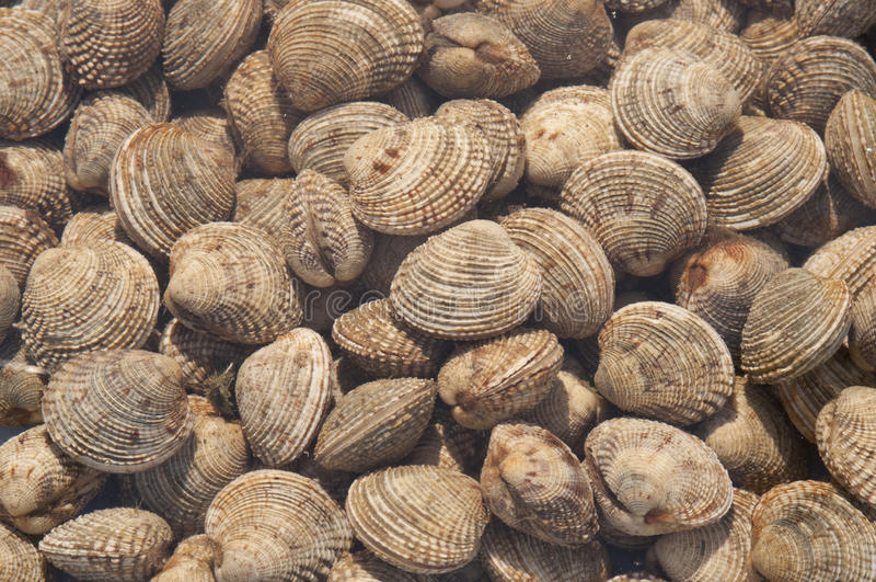 Sea truffle - Venus clams stock images