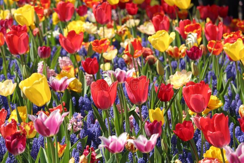 Sea of Tulips - Keukenhof Garden in the Netherlands royalty free stock photo