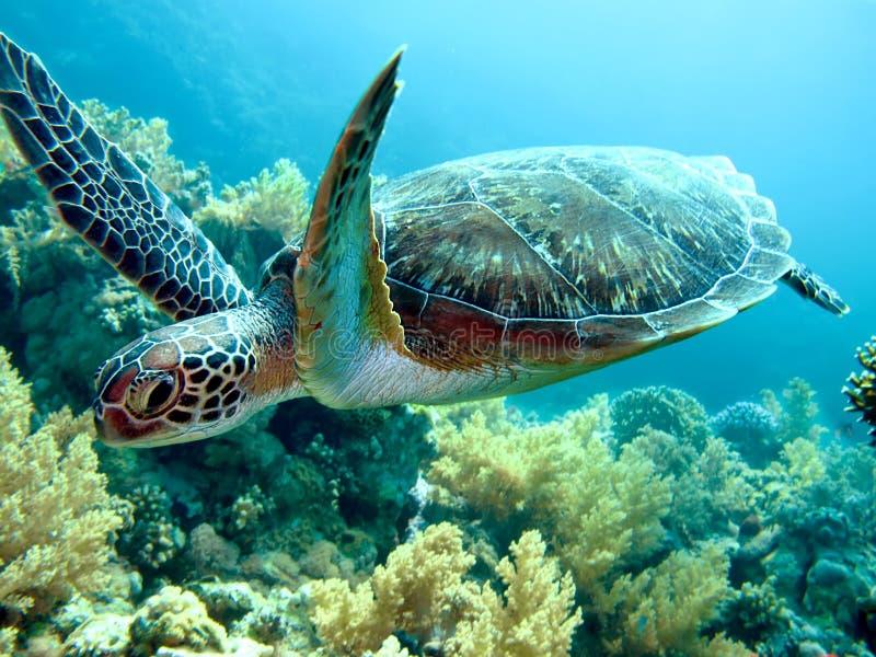 Sea Turtle. Green sea turtle (Chelonia mydas). Taken at Yolanda Reef in Egypt