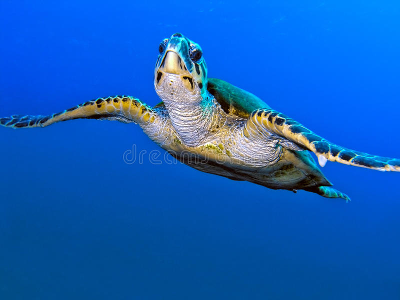 Sea turtle. In the clear water