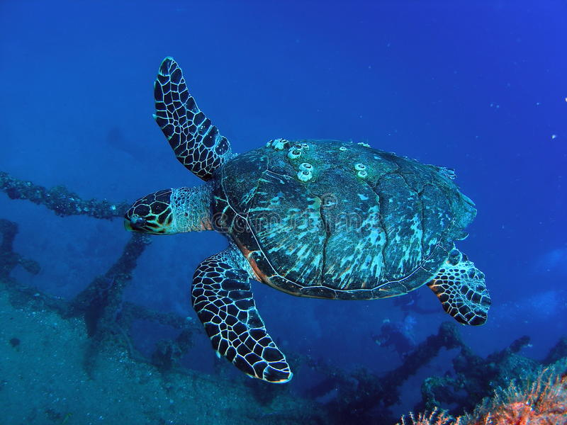 Download Sea Turtle stock photo. Image of nature, closeup, outdoor - 19519370