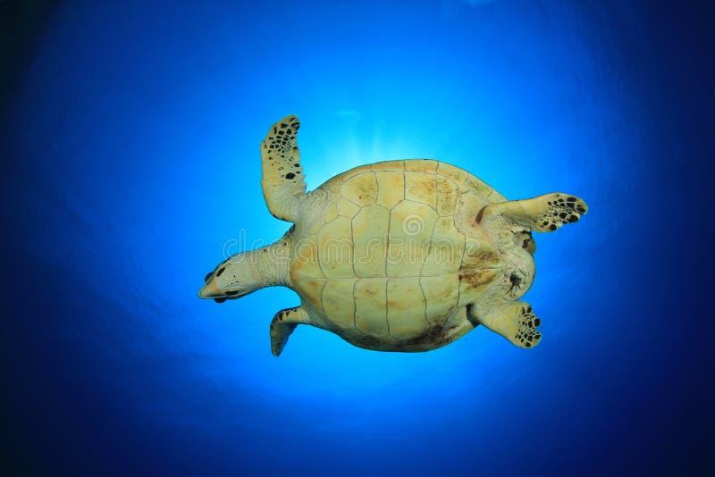Download Sea Turtle stock photo. Image of imbricata, hawksbill - 20758174