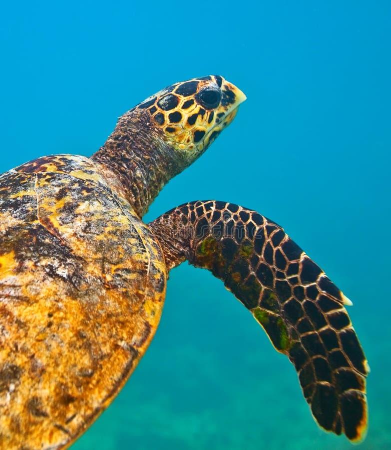 Download Sea turtle stock photo. Image of hard, marine, aquatic - 23810730