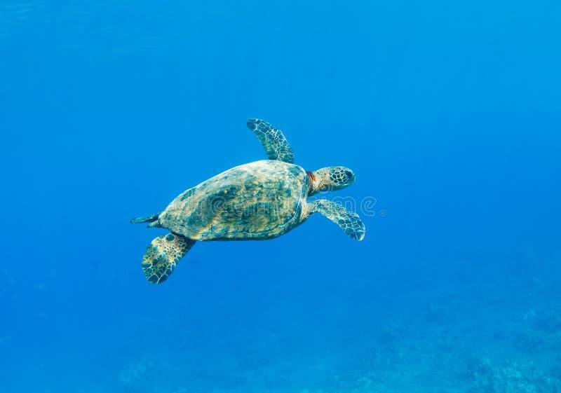 Download Sea Turtle stock photo. Image of tortoise, eretmochelys - 24321654