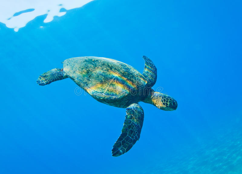 Download Sea Turtle stock image. Image of background, hawksbill - 24321673