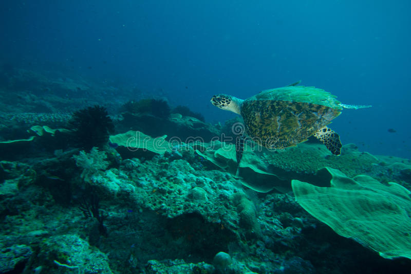 Sea turtle royalty free stock photography