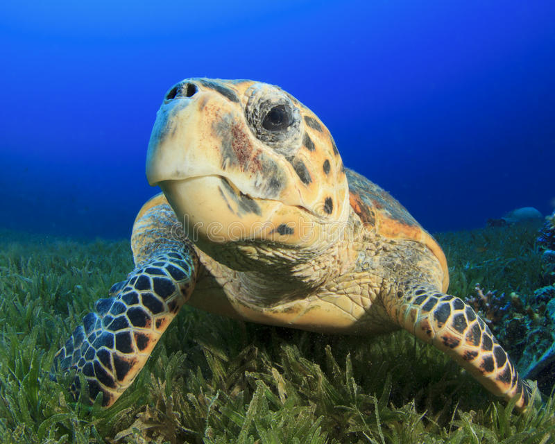 Download Sea Turtle stock photo. Image of blue, coral, reptile - 26040678