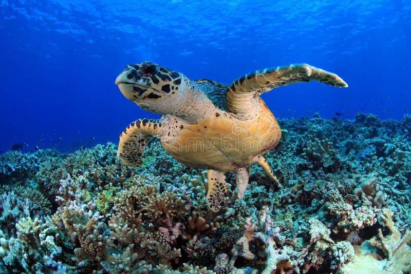 Sea Turtle. Hawksbill sea turtle in the blue water of the ocean