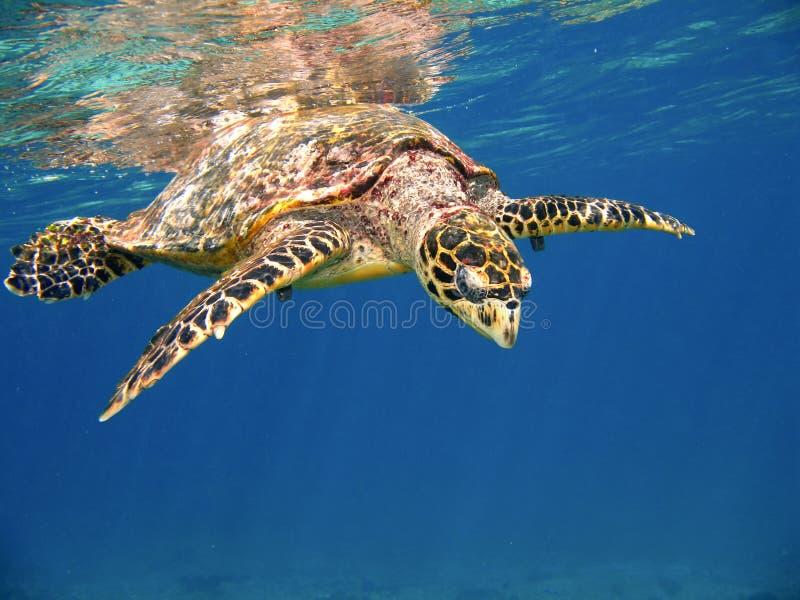Sea turtle. Hawksbill sea turtle near water surface in Seychelles