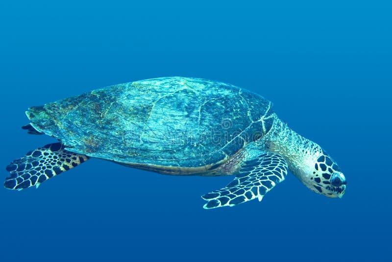 Sea Turtle. A tropical sea turtle, swimming underwater stock photo