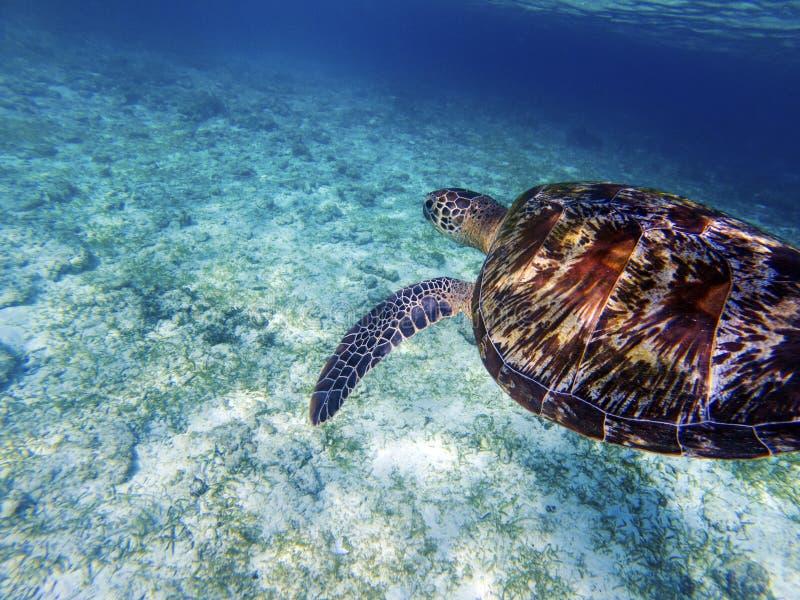 Sea turtle above white sand sea bottom. Coral reef animal underwater photo. royalty free stock photo