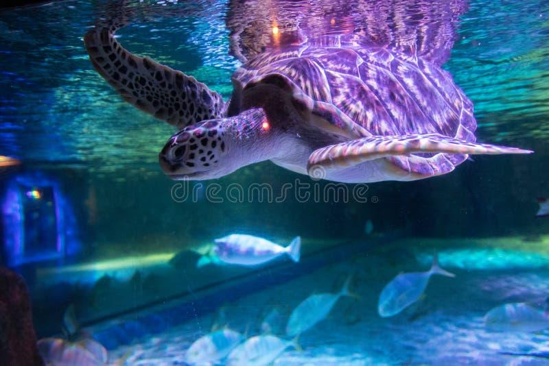 Sea turtle in aquarium at Sea Life Bangkok Ocean World. Big sea turtle in aquarium at Sea Life Bangkok Ocean World stock image