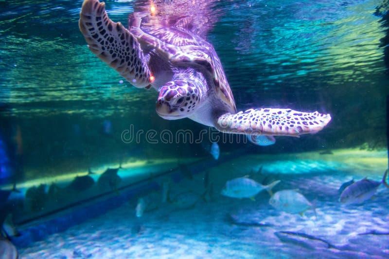 Sea turtle in aquarium at Sea Life Bangkok Ocean World. Big sea turtle in aquarium at Sea Life Bangkok Ocean World royalty free stock photography