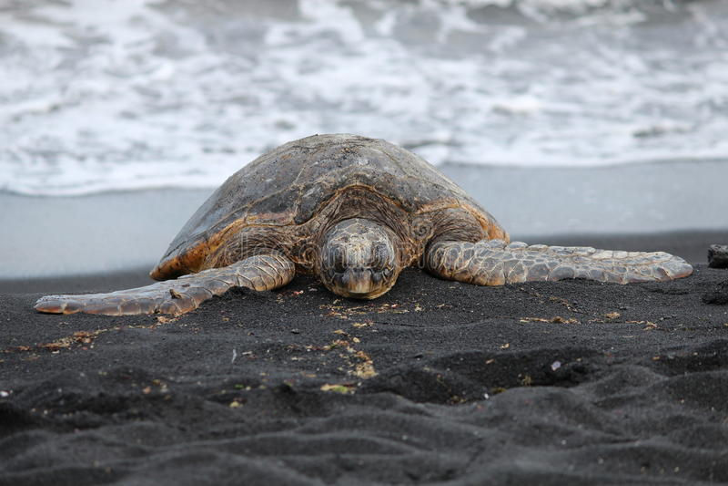 Download Sea Turtle On Black Sand Beach Stock Image - Image: 25569413