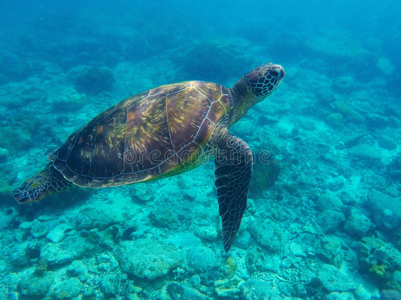 Sea turtle in blue water above coral reef. Tropical sea nature of Philippines. Apo island. Olive ridley turtle in blue sea water. Green tortoise in tropical stock photo
