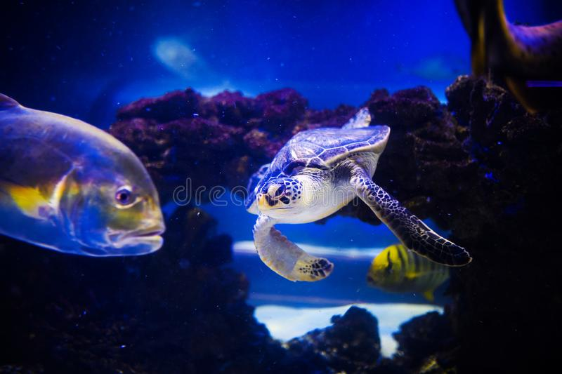 Sea turtle in blue water over coral reef, Philippines, Apo island. Olive ridley turtle in blue sea. Marine life. Big turtle. Swimming in ocean, animal, aquatic royalty free stock photos