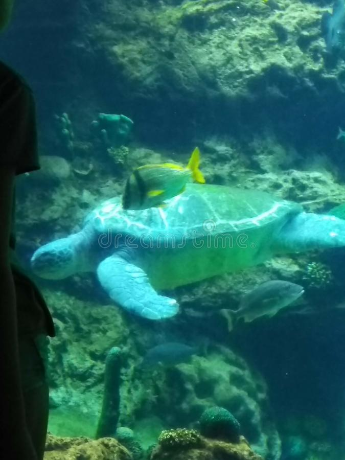 Sea Turtle captured royalty free stock photo