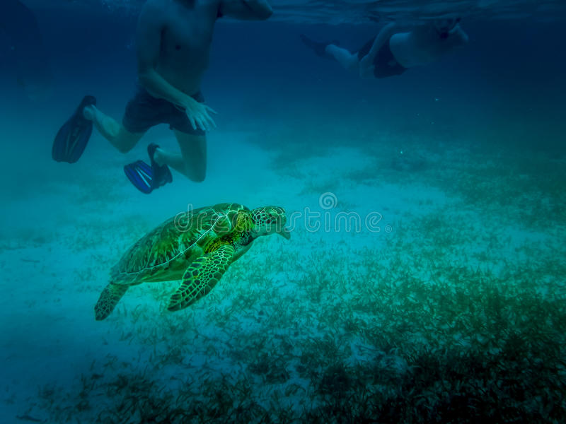 Sea turtle in caribbean sea - Caye Caulker, Belize royalty free stock images