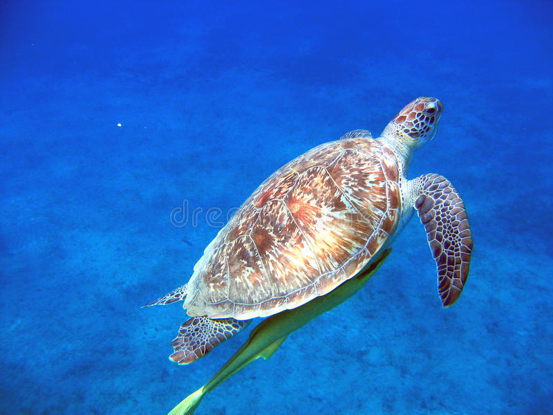 Sea turtle (Chelonia mydas). Chelonia mydas, known as the green turtle, is a large sea turtle belonging to the family Cheloniidae. It is the only species in the royalty free stock images